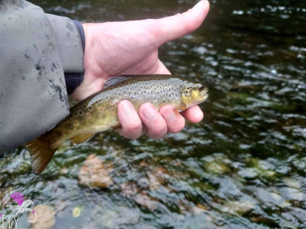 A Small Brown Trout